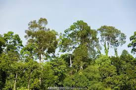 jungle treetops photo kinabatangan river sabah malaysia