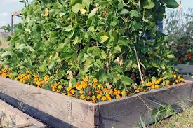 raised vegetable garden beds with marigolds ornamental