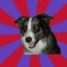 Border Collie Meme - create meme psychotic depression border collie pictures