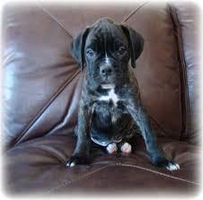 boxer dog reverse brindle tiha