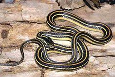 western ribbon western ribbon snake snakes snake and reptiles