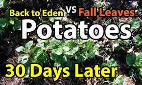 flower gardening 101 30 days later potatoes back to eden organic gardening 101 method