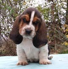 bluetick coonhound puppies for sale 12 best bluetick coonhound images on pinterest bluetick