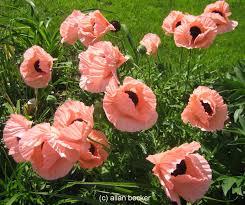poppy princess louise journal garden design