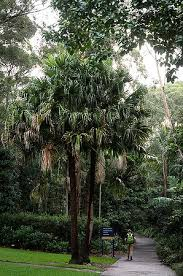 Botanical Garden Wollongong Category Wollongong Botanical Gardens Palmpedia Palm Grower S