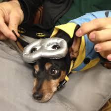 Mini Dachshund Halloween Costumes Pet Halloween Costumes Hit Fox 2 Detroit Addy U0027s Blog