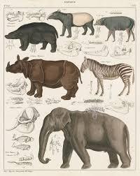 elephant rhinoceros zebra hippopotamus tapir from oken whale