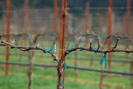 a bold experiment in vineyard pruning the daily bray