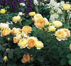 Fragrant Rose Plants - rose u0027jude the obscure u0027 ausjo splendid roses pinterest