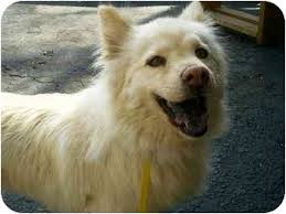 american eskimo dog yahoo star adopted dog lombard il american eskimo dog chow chow mix