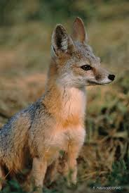 Oregon wildlife images Kit fox vulpes macrotis oregon wildlife institute jpg