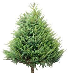 Black Christmas Tree Uk - wholesale christmas trees supplier welsh british evergreen