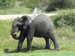 file african elephant shower jpg wikimedia commons