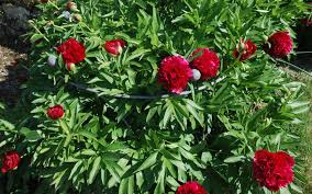 small plant supports mckellars small peony mckellars