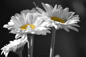 daisies photography floral print black and white color accent home