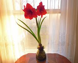 How To Grow A Bulb In A Vase Amaryllis Bulbs And Water U2013 Tips On The Care Of Amaryllis In Water