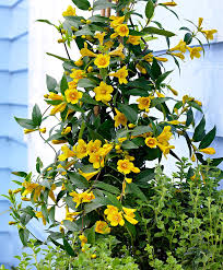 buy a container plant now yellow jasmine bakker com