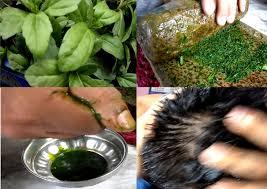 hair rejuvenator mahabhringaraj herb u2013the most effective means to