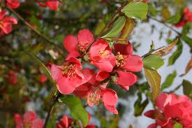 flower flowering bloom crab apple shrubs flowers wallpaper iphone