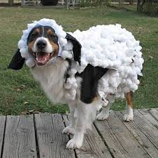 Halloween Sheep Costume 2010 Halloween Pet Parade Sheep Costumes Costumes Pet Parade