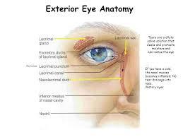 Eye Ducts Anatomy Special Senses Week 12 Exterior Eye Anatomy 1 2 3 Ppt Download