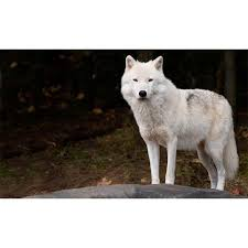 arctic wolf wall mural majestic wall art arctic wolf wall mural