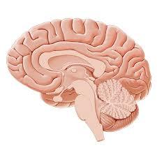 Human Ear Anatomy Quiz Quiz Test Medial View Of The Brain Kenhub