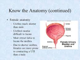 Female Meatus Anatomy Surgical Technology Lecture Series 2000 Ppt Video Online Download