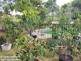 how to container grow mango trees in arizona