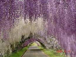 japan flower tunnel wisteria tunnel kitakyushu japan atlas obscura