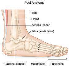 Anatomy Of A Foot En3066926 Jpg