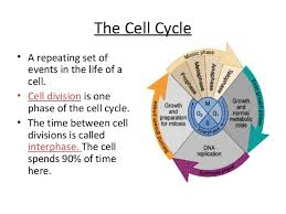 Mitosis And The Cell Cycle Worksheet Anatomy And Physiology Cell Transport And The Cell Cycle