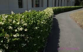 native hedgerow plants tall narrow california ligustrum privet hedge