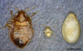 What Kills Bed Bugs And Their Eggs Bed Bugs Umaine Cooperative Extension Insect Pests Ticks And