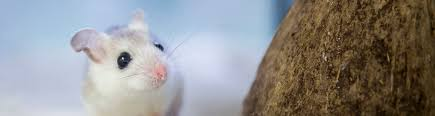 rats and mice signs characteristics and uf ifas