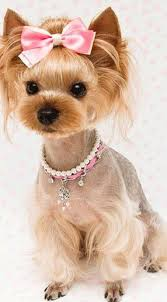 female yorkie haircuts styles cute yorkie haircuts different yorkshire terrier hairstyles with