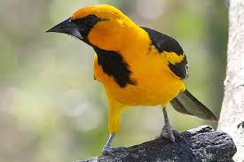 oriole identification tips identifying orioles