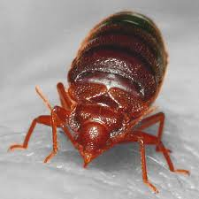 Can Bed Bugs Live In Water Horrifying Study Shows How Far Bed Bugs Can Spread In Apartment