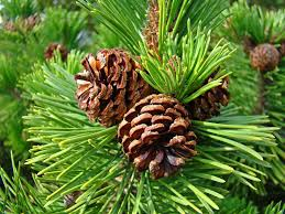 coniferous forests lessons tes teach