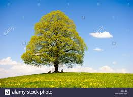 Single K He Single Big Linden Tree In Meadow At Spring Stock Photo Royalty