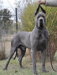 Blind Great Dane Great Dane Patient And Friendly Dog Animal And Doggies