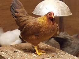 The Backyard Chicken by Bantam Breed Help Backyard Chickens