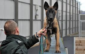 belgian sheepdog uk meet zorro the belgian shepherd puppy getting ready for a life