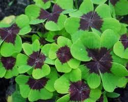 plant wood sorrel whitsun flower green snob sleeping