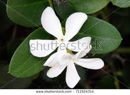 Stephanotis Flower Stephanotis Stock Images Royalty Free Images U0026 Vectors Shutterstock