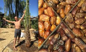 fruiting female date palm trees planting a date palm food forest