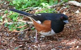 North Carolina birds images North carolina mountain birds eastern towhee jpg
