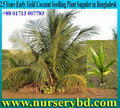 nurserybd aromatic coconut seedlings bangladesh aromatic