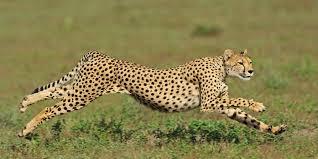 international cheetah day is december 4th huffpost