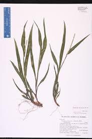 south florida native plants paspalum setaceum species page isb atlas of florida plants